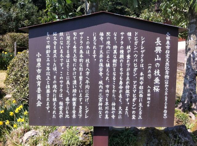 長興山のしだれ桜イメージ