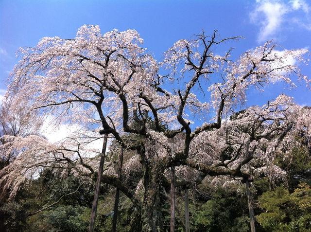 長興山のしだれ桜2イメージ